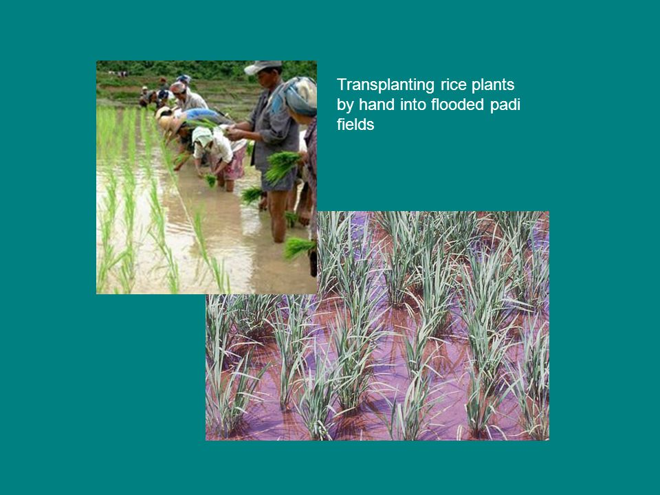 Transplanting rice plants by hand into flooded padi fields