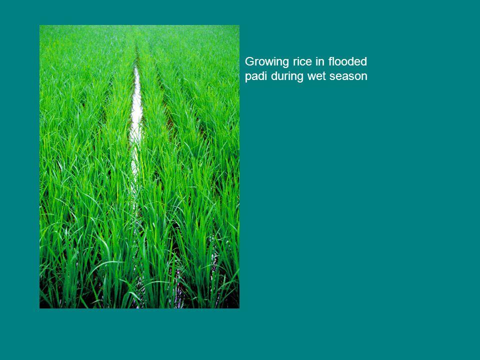 Growing rice in flooded padi during wet season