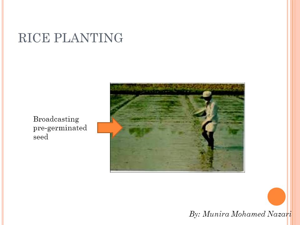 RICE PLANTING Broadcasting pre-germinated seed By: Munira Mohamed Nazari