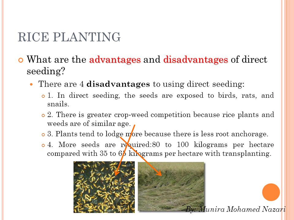 RICE PLANTING advantagesdisadvantages What are the advantages and disadvantages of direct seeding.