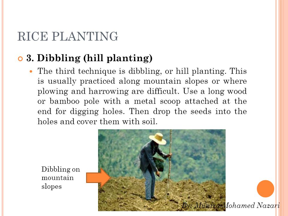 RICE PLANTING 3.Dibbling (hill planting) The third technique is dibbling, or hill planting.