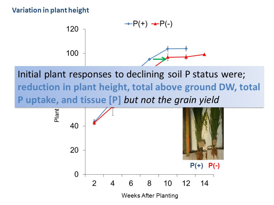 Variation in plant height Weeks After Planting Plant height (cm) P(+)P(-) Initial plant responses to declining soil P status were; reduction in plant height, total above ground DW, total P uptake, and tissue [P] but not the grain yield