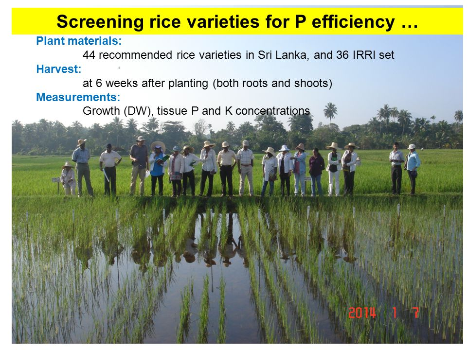Screening rice varieties for P efficiency … Plant materials: 44 recommended rice varieties in Sri Lanka, and 36 IRRI set Harvest: at 6 weeks after planting (both roots and shoots) Measurements: Growth (DW), tissue P and K concentrations