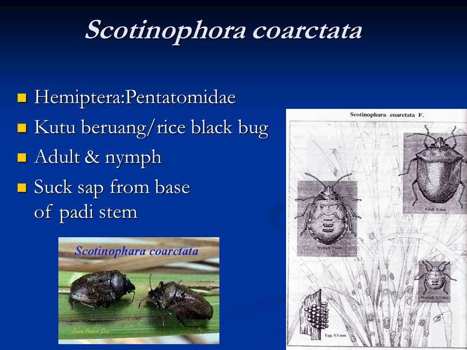 Scotinophora coarctata Hemiptera:Pentatomidae Hemiptera:Pentatomidae Kutu beruang/rice black bug Kutu beruang/rice black bug Adult & nymph Adult & nym