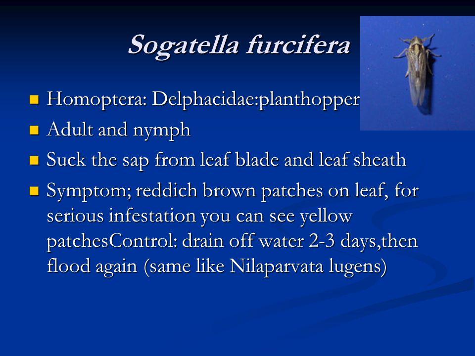 Sogatella furcifera Homoptera: Delphacidae:planthopper Homoptera: Delphacidae:planthopper Adult and nymph Adult and nymph Suck the sap from leaf blade
