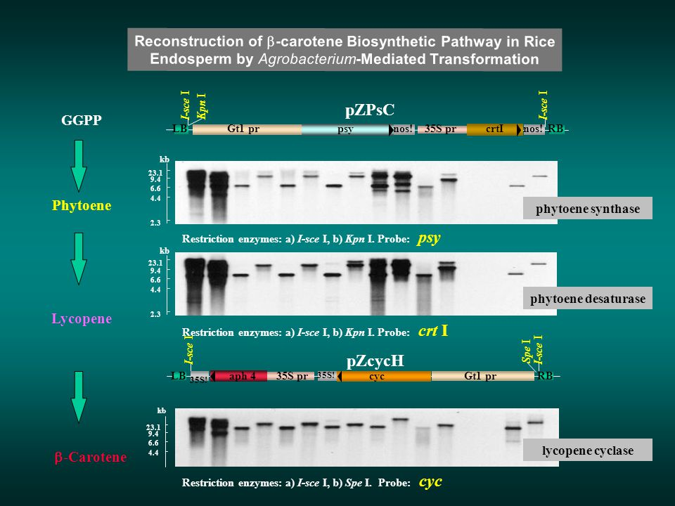 Restriction enzymes: a) I-sce I, b) Kpn I. Probe: psy Restriction enzymes: a) I-sce I, b) Kpn I. Probe: crt I Restriction enzymes: a) I-sce I, b) Spe