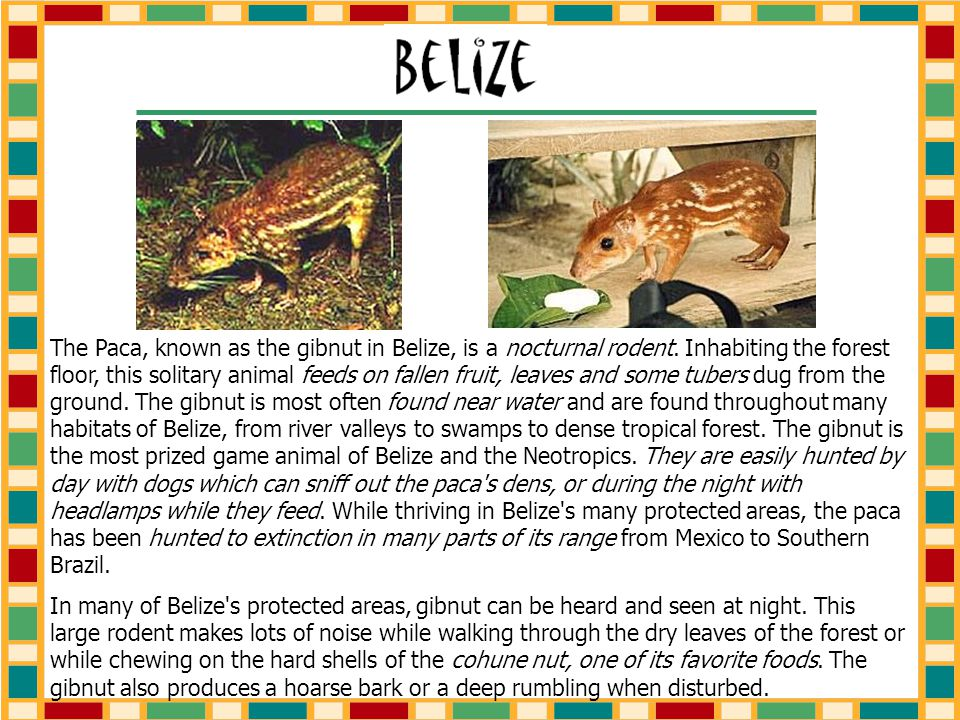 The Paca, known as the gibnut in Belize, is a nocturnal rodent.