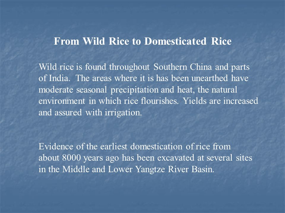 From Wild Rice to Domesticated Rice Wild rice is found throughout Southern China and parts of India.