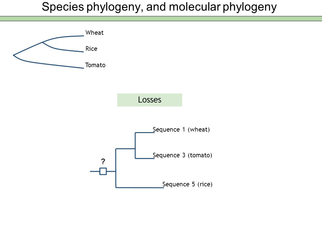 Species phylogeny, and molecular phylogeny Wheat Rice Tomato Losses Sequence 1 (wheat) Sequence 3 (tomato) Sequence 5 (rice)