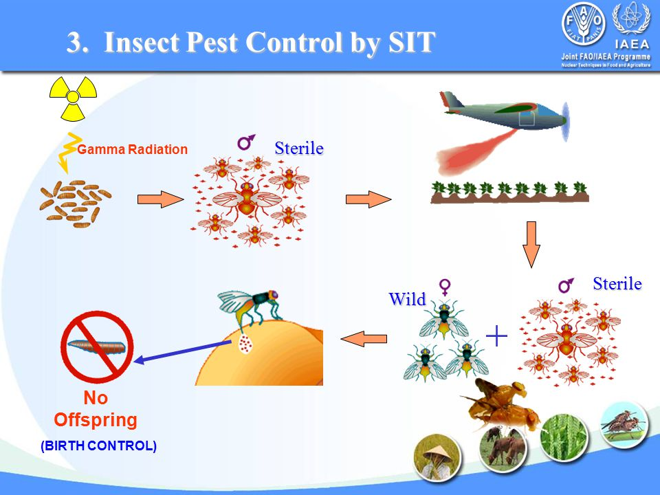 Gamma Radiation No Offspring (BIRTH CONTROL) 3. Insect Pest Control by SIT Sterile Sterile Wild