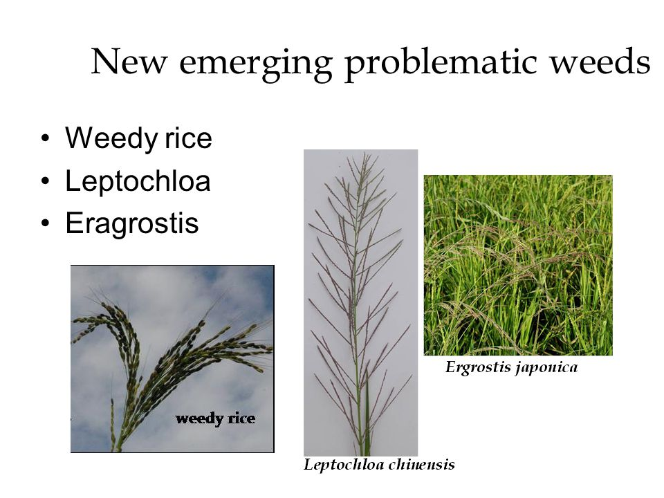 New emerging problematic weeds Weedy rice Leptochloa Eragrostis