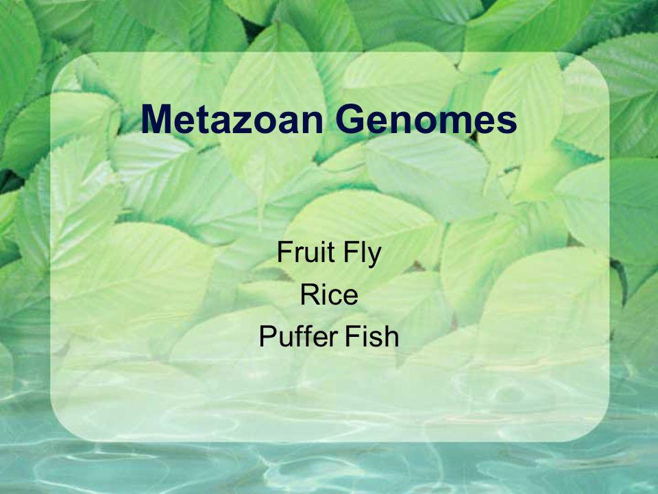 Metazoan Genomes Fruit Fly Rice Puffer Fish