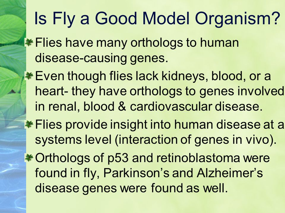 Is Fly a Good Model Organism.Flies have many orthologs to human disease-causing genes.