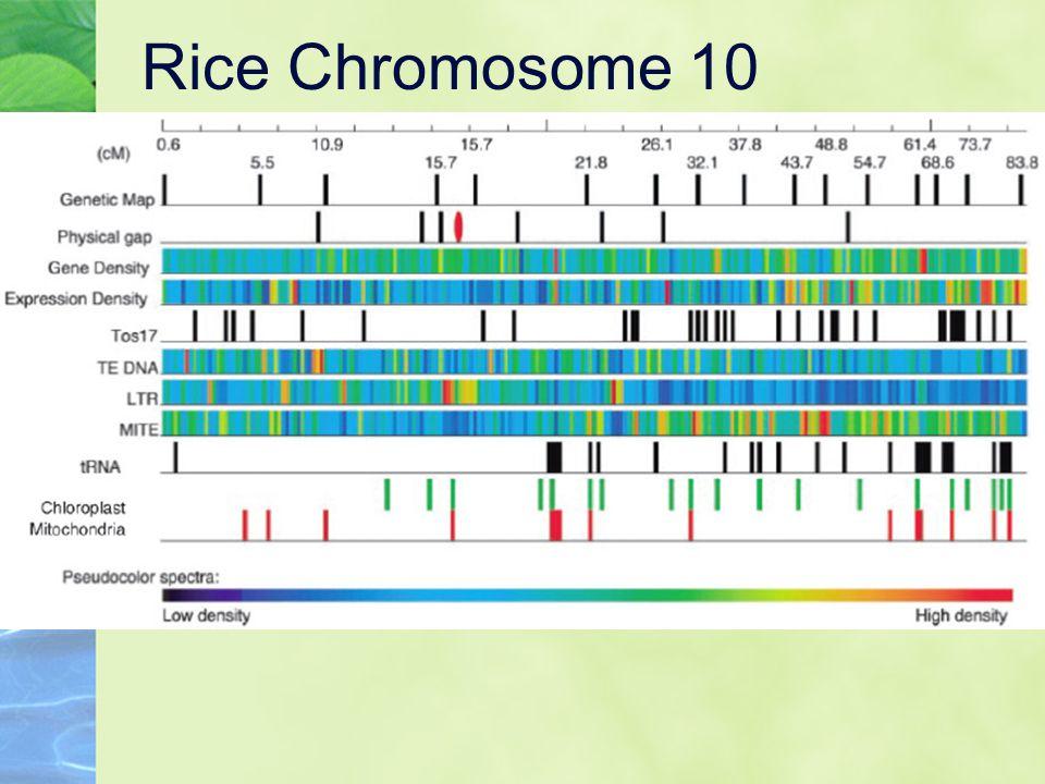 Rice Chromosome 10