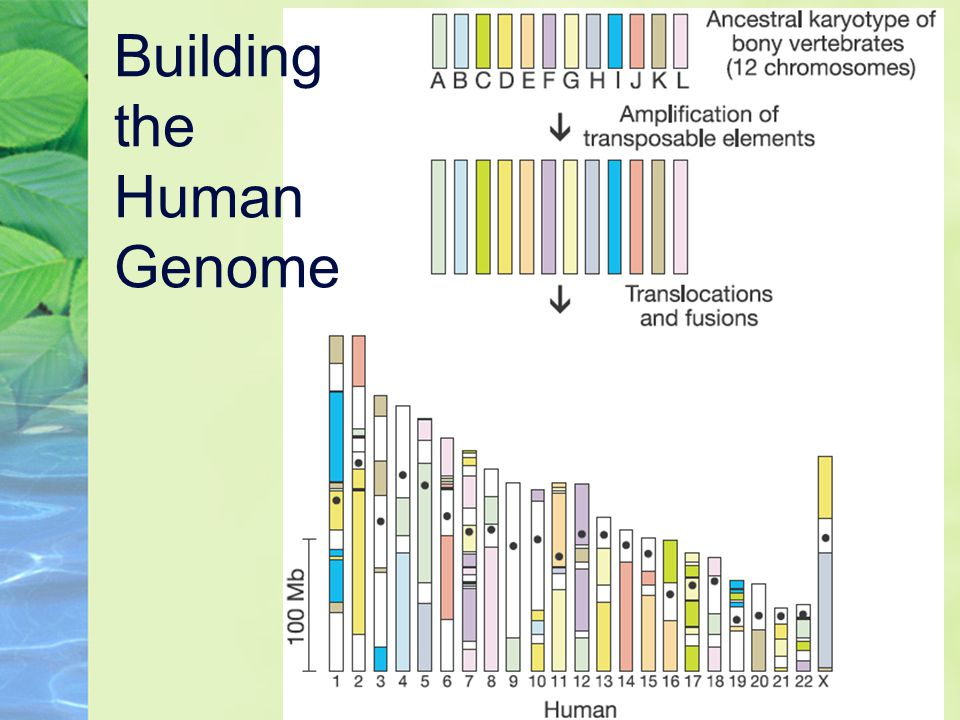 Building the Human Genome