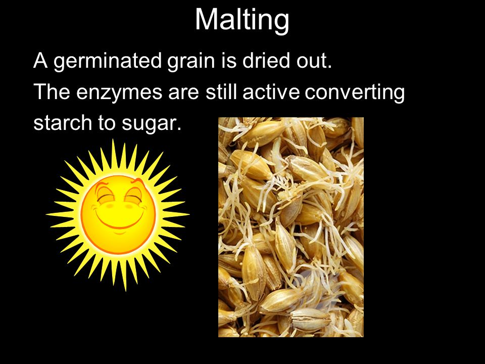 Malting A germinated grain is dried out. The enzymes are still active converting starch to sugar.