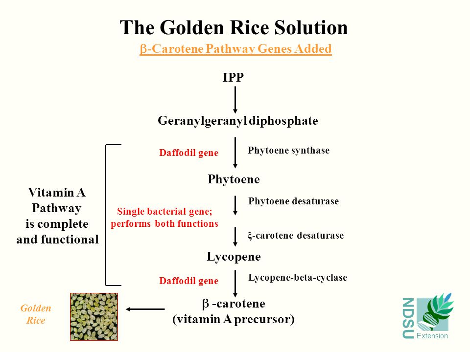 NDSU Extension The Golden Rice Solution IPP Geranylgeranyl diphosphate Phytoene Lycopene  -carotene (vitamin A precursor) Phytoene synthase Phytoene desaturase Lycopene-beta-cyclase ξ-carotene desaturase Daffodil gene Single bacterial gene; performs both functions Daffodil gene  -Carotene Pathway Genes Added Vitamin A Pathway is complete and functional Golden Rice
