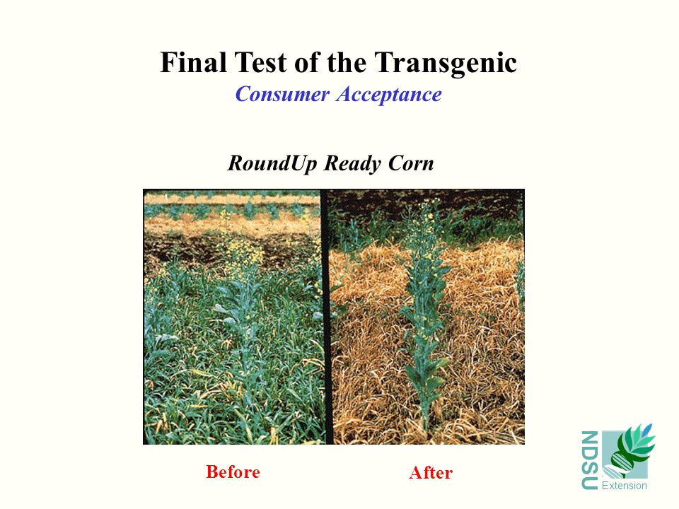NDSU Extension Final Test of the Transgenic Consumer Acceptance RoundUp Ready Corn Before After