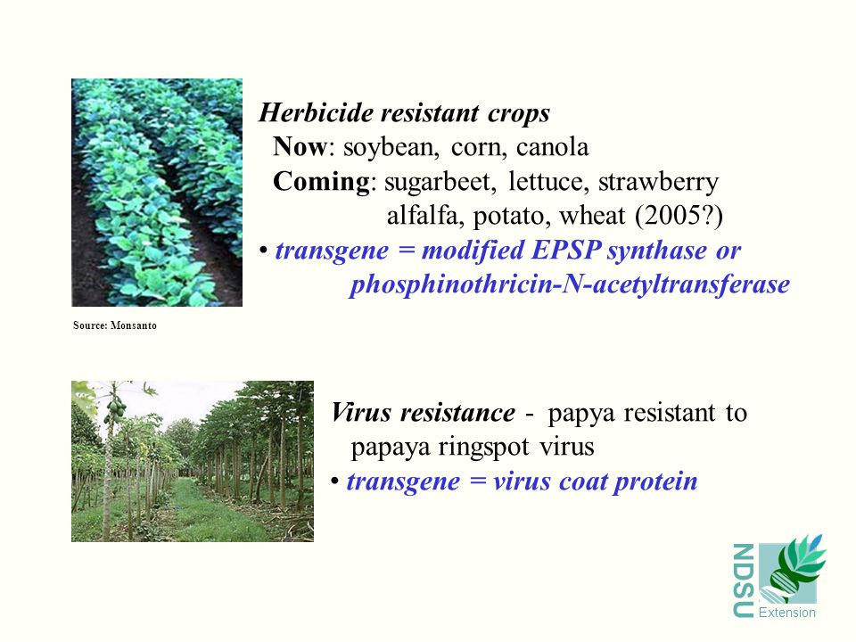 NDSU Extension Virus resistance - papya resistant to papaya ringspot virus transgene = virus coat protein Source: Monsanto Herbicide resistant crops Now: soybean, corn, canola Coming: sugarbeet, lettuce, strawberry alfalfa, potato, wheat (2005 ) transgene = modified EPSP synthase or phosphinothricin-N-acetyltransferase