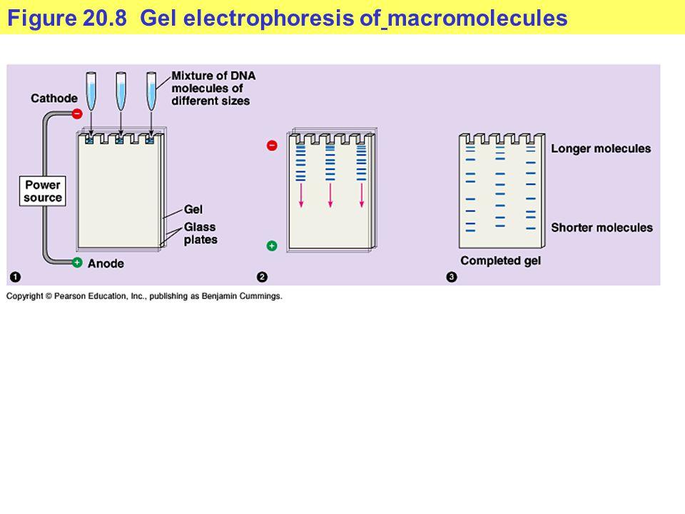 Figure 20.8 Gel electrophoresis of macromolecules
