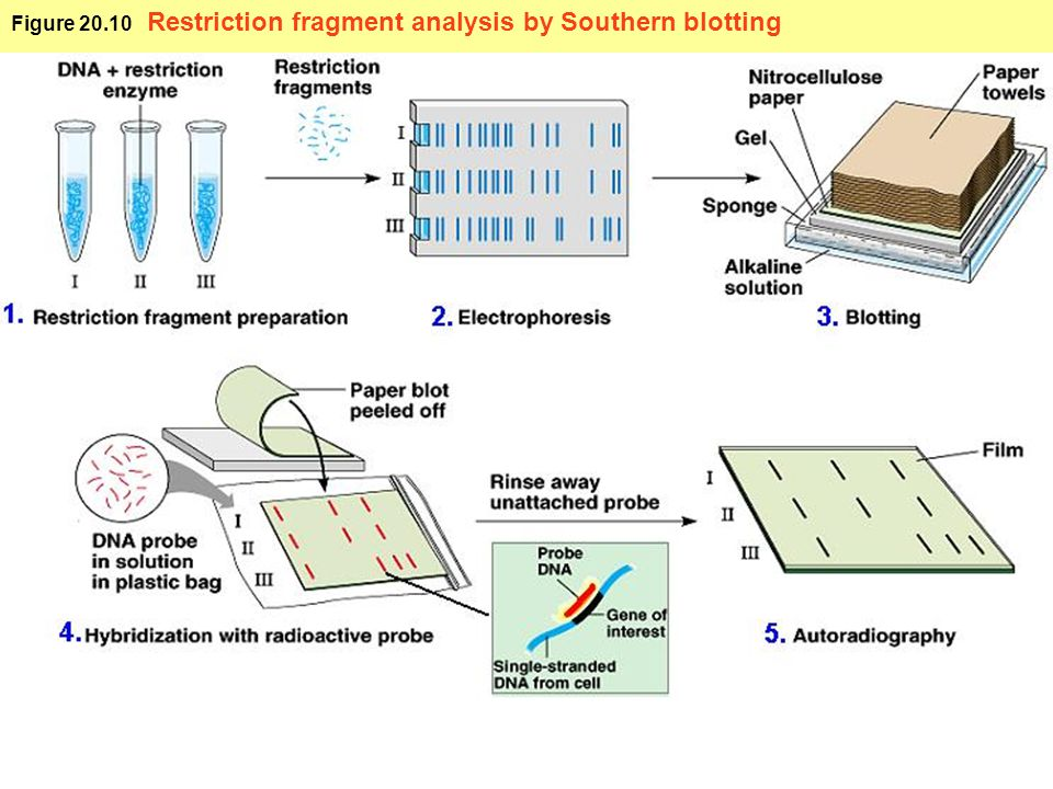 Figure 20.10 Restriction fragment analysis by Southern blotting
