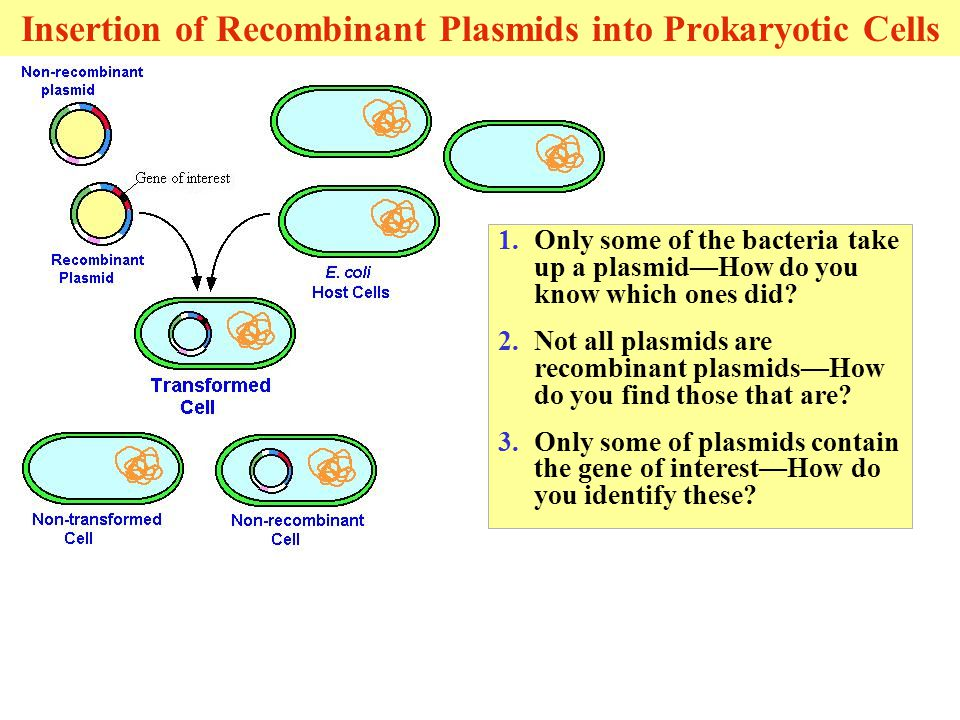 Insertion of Recombinant Plasmids into Prokaryotic Cells 1.Only some of the bacteria take up a plasmid—How do you know which ones did.