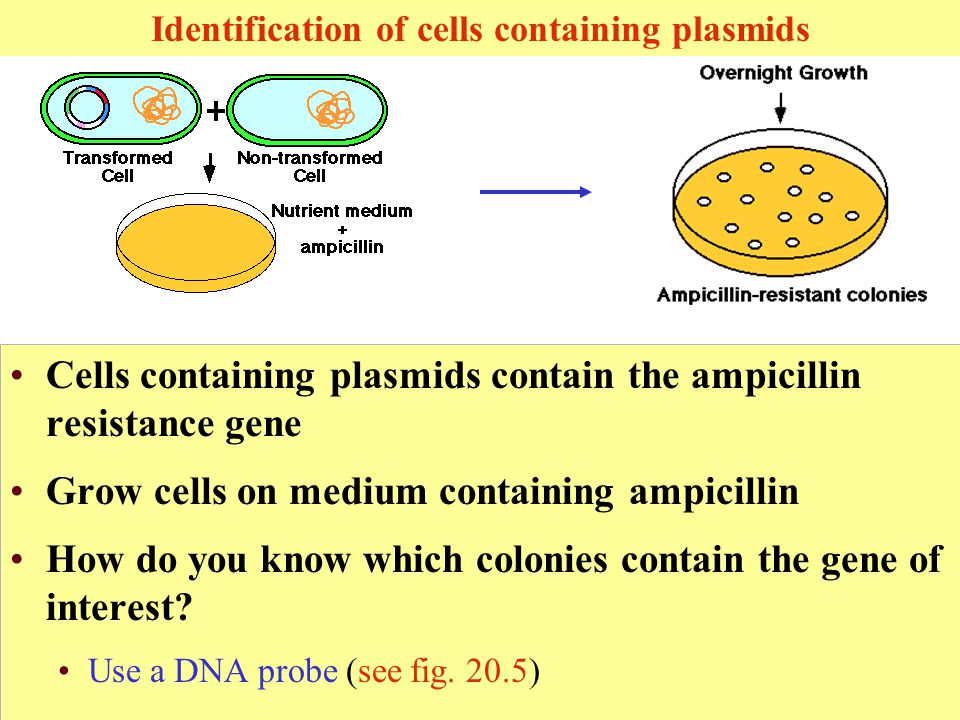 Identification of cells containing plasmids Cells containing plasmids contain the ampicillin resistance gene Grow cells on medium containing ampicillin How do you know which colonies contain the gene of interest.