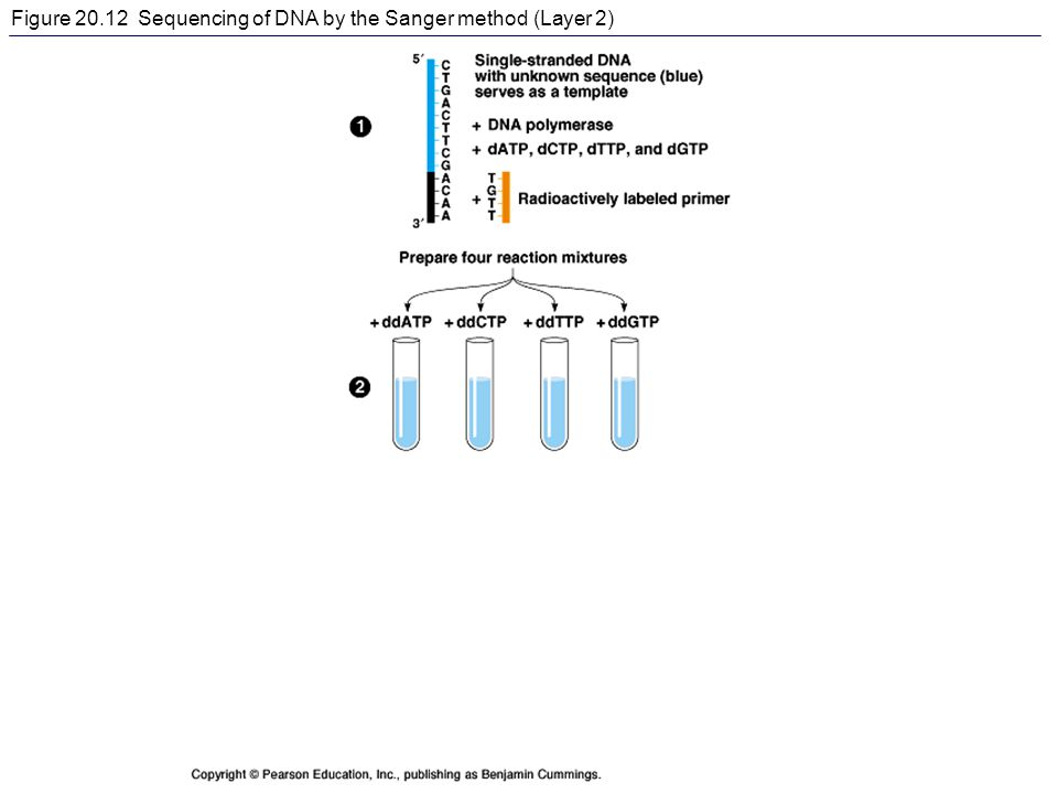 Figure 20.12 Sequencing of DNA by the Sanger method (Layer 2)