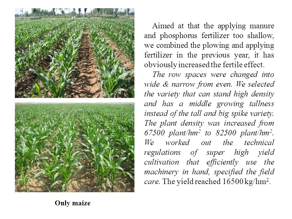 Only maize Aimed at that the applying manure and phosphorus fertilizer too shallow, we combined the plowing and applying fertilizer in the previous year, it has obviously increased the fertile effect.