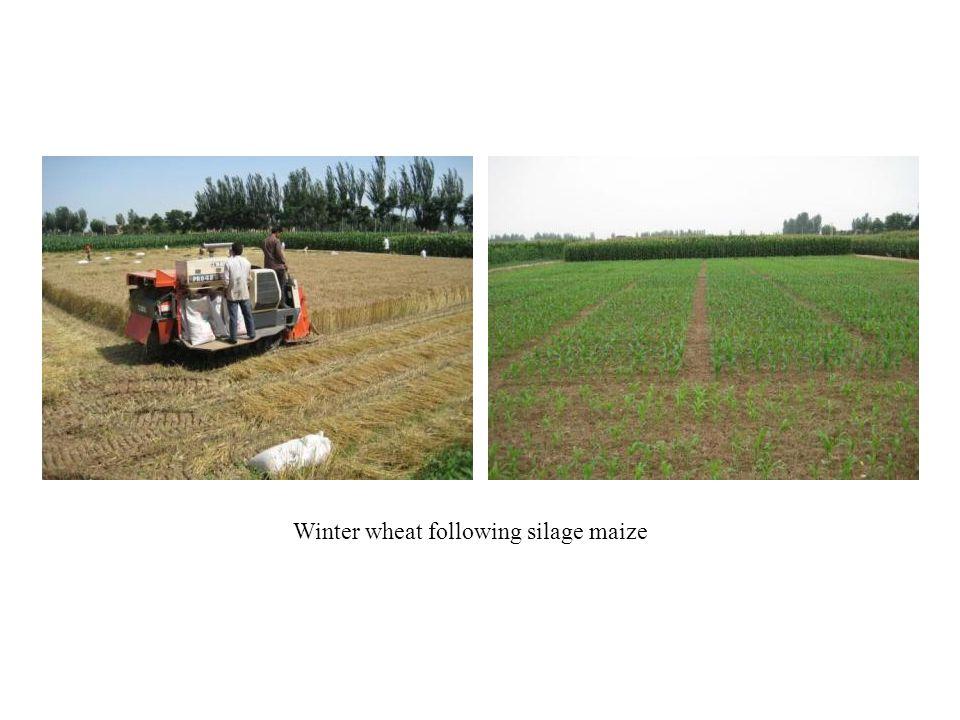 Winter wheat following silage maize