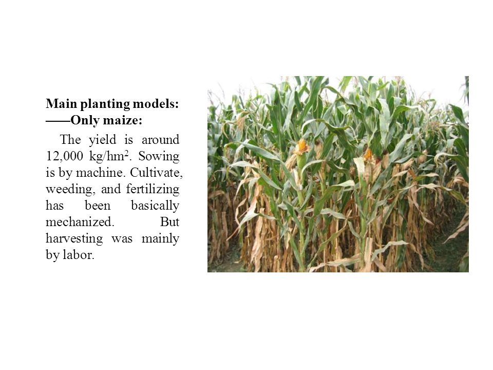 Main planting models: —— Only maize: The yield is around 12,000 kg/hm 2.