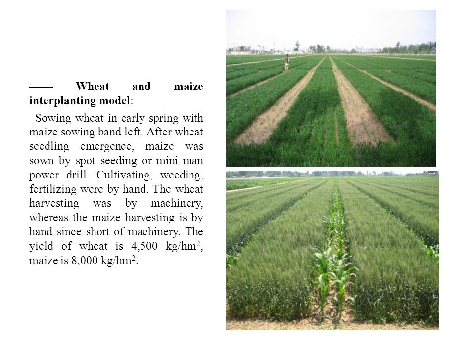 —— Wheat and maize interplanting model: Sowing wheat in early spring with maize sowing band left.