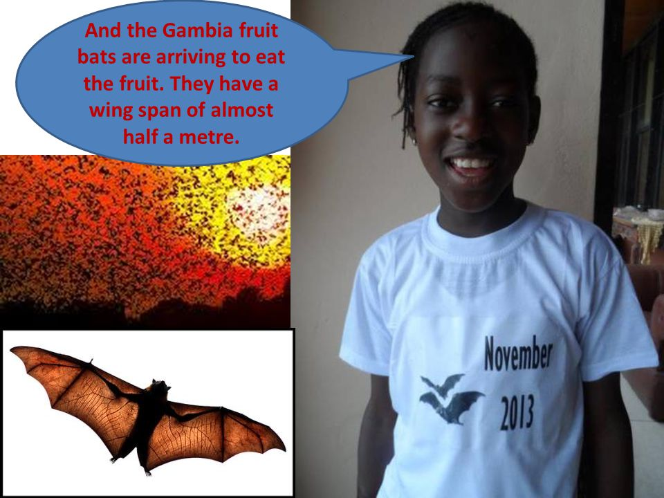 And the Gambia fruit bats are arriving to eat the fruit.