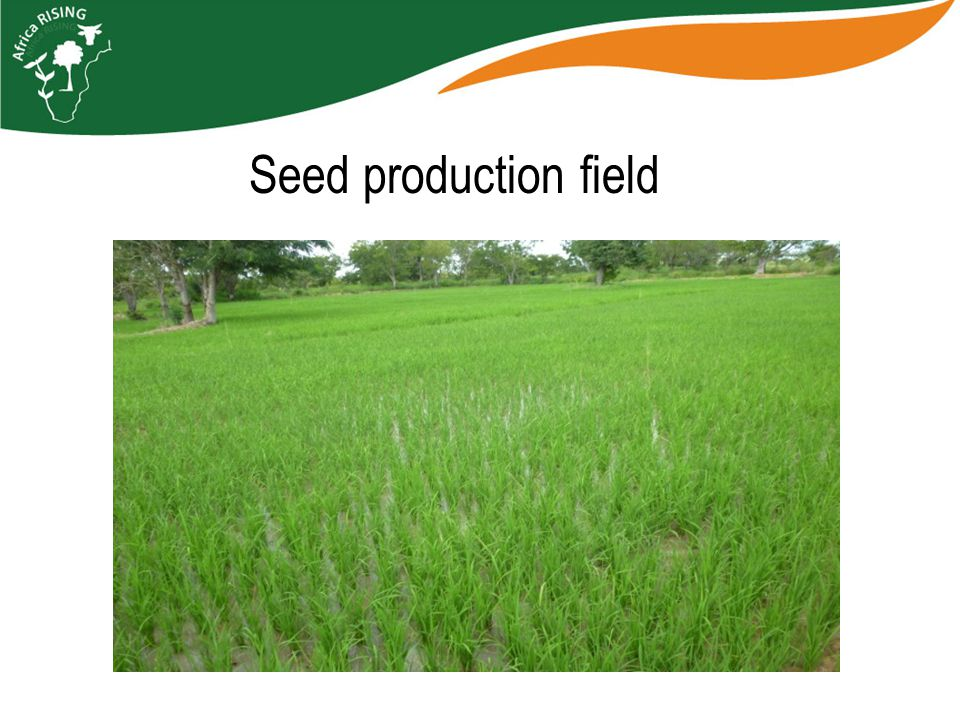 Seed production field