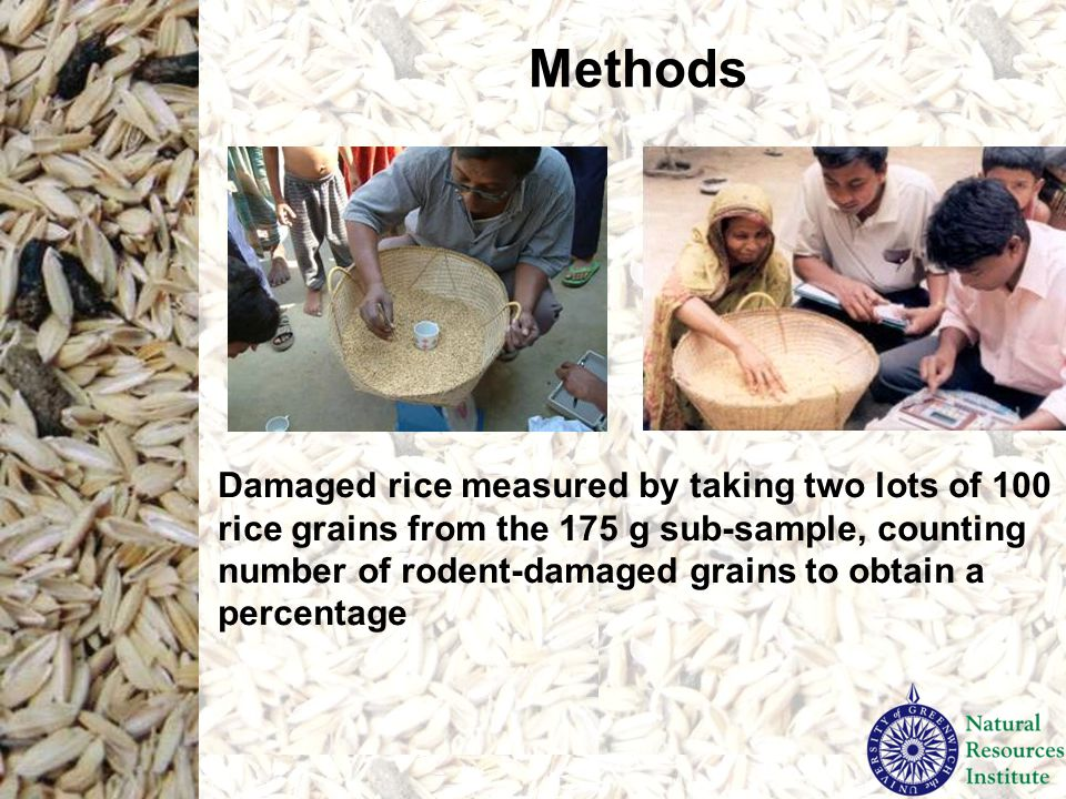 Methods Damaged rice measured by taking two lots of 100 rice grains from the 175 g sub-sample, counting number of rodent-damaged grains to obtain a pe