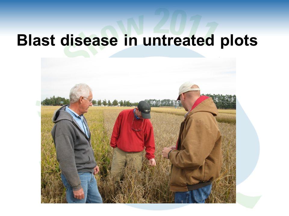 Blast disease in untreated plots
