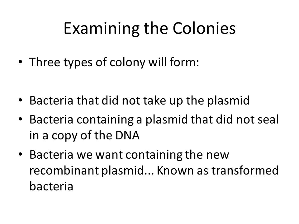 Examining the Colonies Three types of colony will form: Bacteria that did not take up the plasmid Bacteria containing a plasmid that did not seal in a