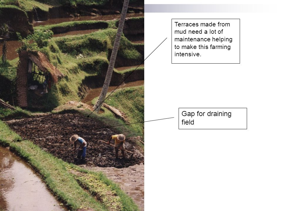 Terraces made from mud need a lot of maintenance helping to make this farming intensive. Gap for draining field