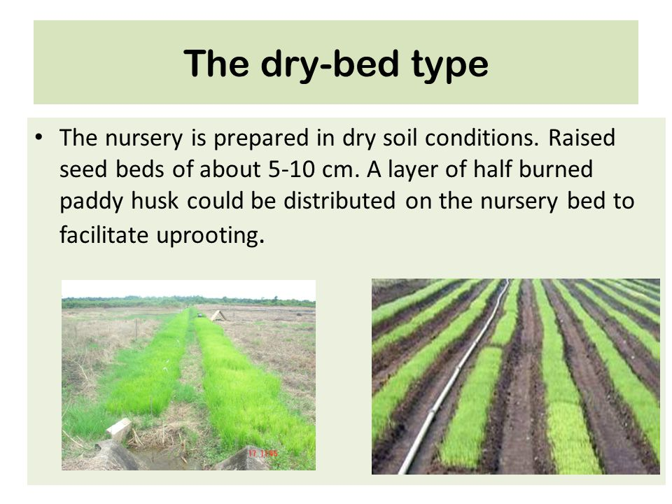 The dry-bed type The nursery is prepared in dry soil conditions. Raised seed beds of about 5-10 cm. A layer of half burned paddy husk could be distrib