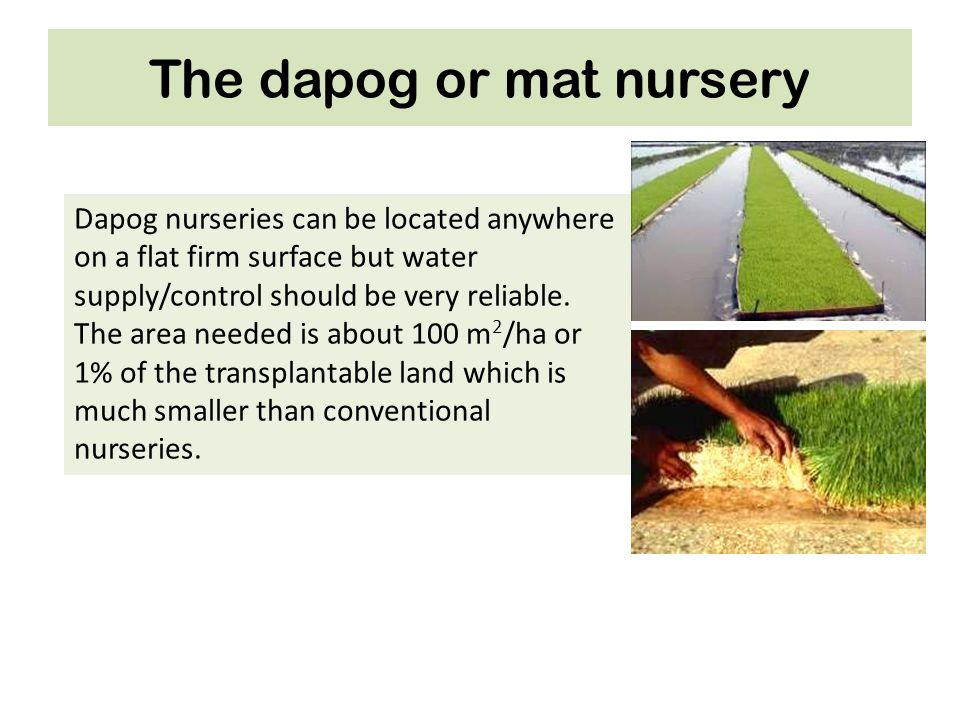 The dapog or mat nursery Dapog nurseries can be located anywhere on a flat firm surface but water supply/control should be very reliable. The area nee