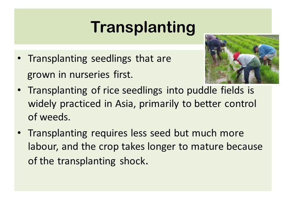 Transplanting Transplanting seedlings that are grown in nurseries first. Transplanting of rice seedlings into puddle fields is widely practiced in Asi