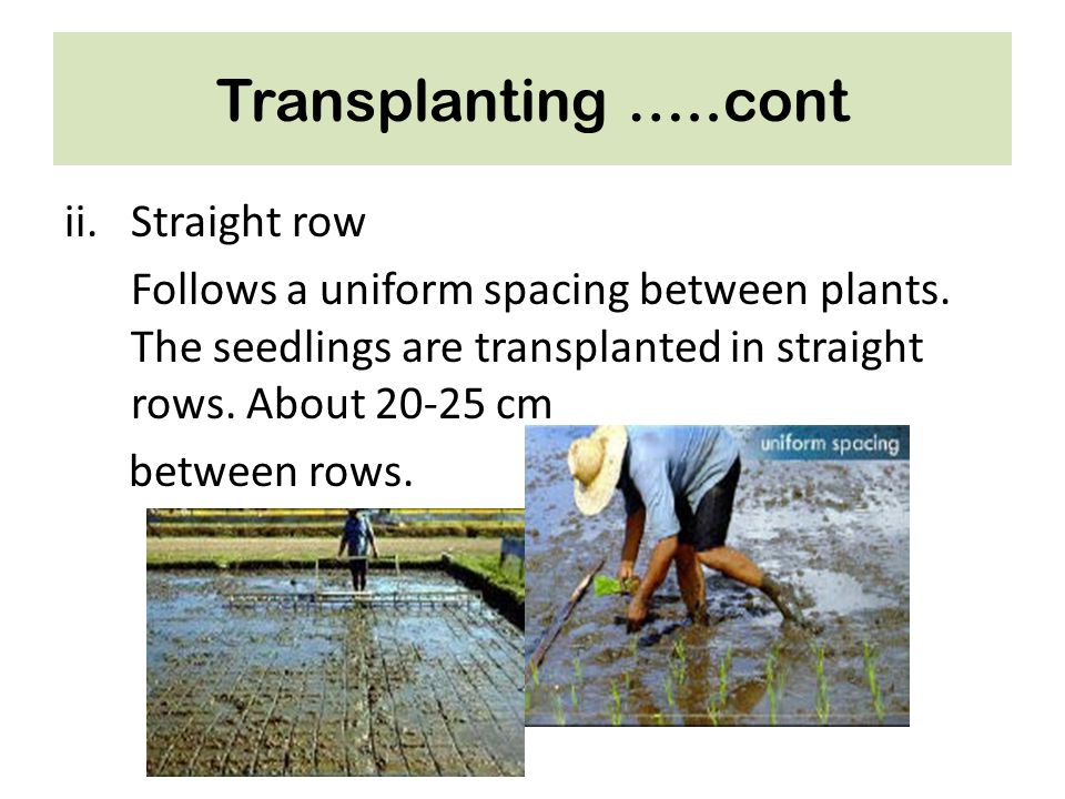 Transplanting …..cont ii.Straight row Follows a uniform spacing between plants. The seedlings are transplanted in straight rows. About 20-25 cm betwee