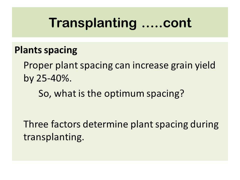 Transplanting …..cont Plants spacing Proper plant spacing can increase grain yield by 25-40%. So, what is the optimum spacing? Three factors determine
