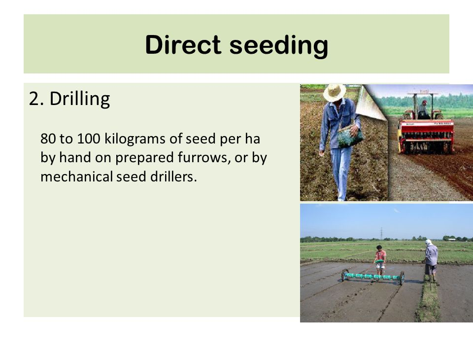 Direct seeding 2. Drilling 80 to 100 kilograms of seed per ha by hand on prepared furrows, or by mechanical seed drillers.