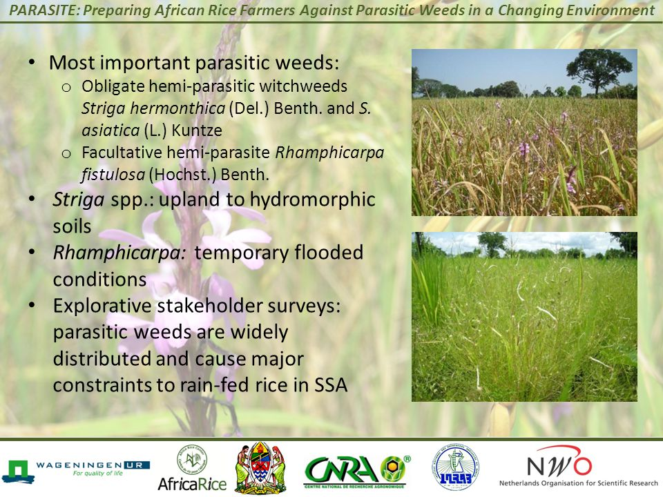 PARASITE: Preparing African Rice Farmers Against Parasitic Weeds in a Changing Environment Most important parasitic weeds: o Obligate hemi-parasitic w