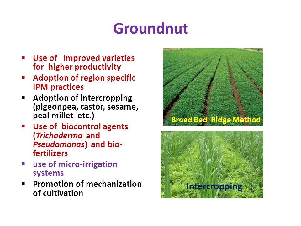 Groundnut  Use of improved varieties for higher productivity  Adoption of region specific IPM practices  Adoption of intercropping (pigeonpea, cast