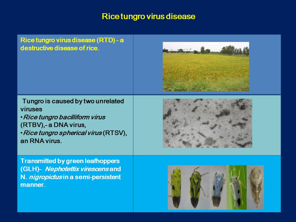 Rice tungro virus disease (RTD) - a destructive disease of rice.