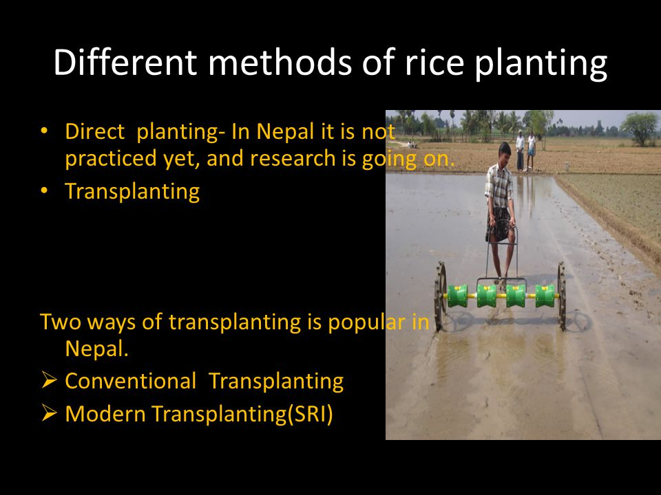 Different methods of rice planting Direct planting- In Nepal it is not practiced yet, and research is going on.