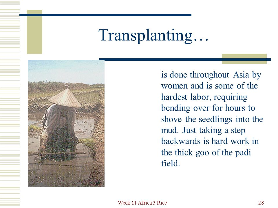 Transplanting Today this is known as the Japanese Method, and is practiced throughout Asia.