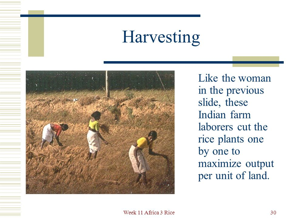 Harvesting takes place about 90 days after transplanting and requires the backbreaking work of women throughout Asia.